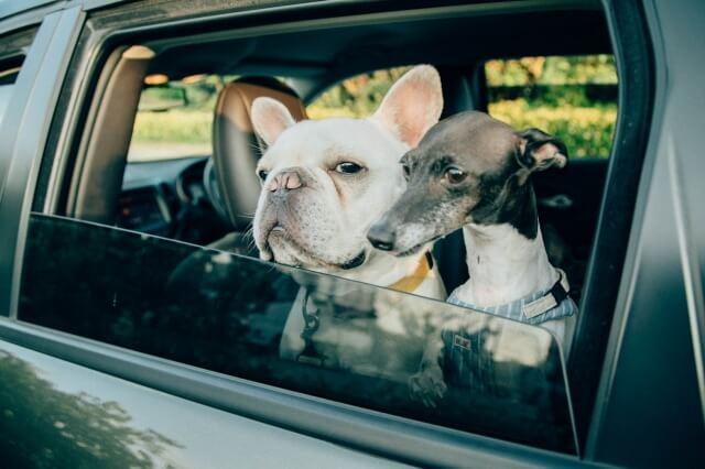 車に乗った2匹の犬